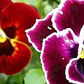 Red And Magenta Pansies by Nancy Mueller