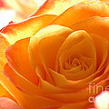 Red And Orange Rose by Holly Blattner