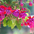 Red And Purple Fuchsias by Diana Haronis