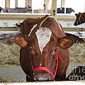Red And White Cow In A Stable Close Up by Robert D  Brozek