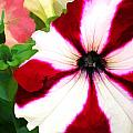 Red And White Petunia by Elaine Plesser