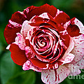 Red And White Rose by Susan Herber