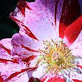 Red And White Speckled Flower by Donna Corless