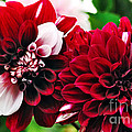 Red And White Variegated Dahlia by Kaye Menner