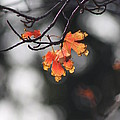 Red And Yellow Fall Leave's Closeup by Robert D  Brozek