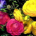 Red And Yellow Ranunculus Flowers by Elaine Plesser