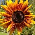 Red And Yellow Sunflower by P S