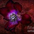Red Anemone by Ann Garrett