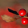 Red As A Winterberry by Susan Capuano