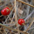 Red Asparagus Berries by Kent Lorentzen