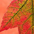 Red Autumn by Carol Leigh