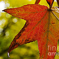 Red Autumn Leaf by Jim And Emily Bush