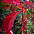 Red Autumn Woodbine by Aaron Burrows
