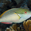 Red-banded Parrotfish Bonaire by Pete Oxford