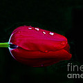 Red Beauty by Mitch Shindelbower