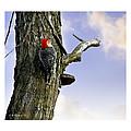 Red-bellied Woodpecker - Male by Brian Wallace