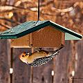 Red-bellied Woodpecker At Lunch by Edward Peterson