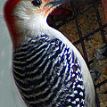 Red Bellied Woodpecker by Laurel Talabere