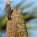 Red Bellied Woodpecker by Rick Mann