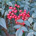 Red Berries 1 by Rod Ismay