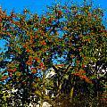 Red Berries by Peter Jenkins