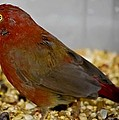 Red Billed Fire Finch by DigiArt Diaries by Vicky B Fuller