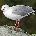 Red Billed Gull by Tony Camacho