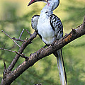 Red-billed Hornbill by Tony Beck