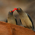 Red-billed Oxpeckers by Bruce J Robinson
