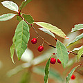Red Bird Berries Of Fall by LeeAnn McLaneGoetz McLaneGoetzStudioLLCcom