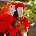 Red Bird by Dennis Dugan