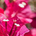 red Bougainvillea by Ralf Kaiser