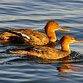 Red Breasted Mergansers by David Lee Thompson