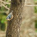 Red-breasted Nuthatch by Cheryl Baxter