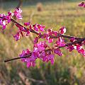 Red Bud by Aaron Moore