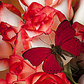 Red Butterfly On Blush Roses by Garry Gay