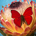 Red Butterfly On Protea by Garry Gay