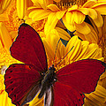Red Butterfly On Yellow Gerbera Daisies  by Garry Gay
