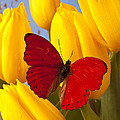 Red Butterful On Yellow Tulips by Garry Gay