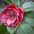 Red Camellia Squared by Teresa Mucha
