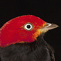 Red-capped Manakin Pipra Mentalis Male by Christian Ziegler