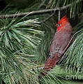 Red Cardinal In Green Pine by Nava Thompson