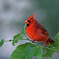 Red Cardinal by Juergen Roth