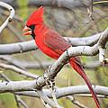 Red Cardinal  by Saija  Lehtonen