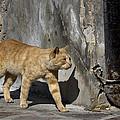 Red Cat In Burano by Raffaella Lunelli