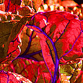 Red Chard by Rory Sagner