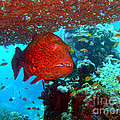 Red Close-up Grouper by MotHaiBaPhoto Prints