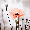 Red Corn Poppy Flowers 01 by Nailia Schwarz