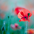Red Corn Poppy Flowers 04 by Nailia Schwarz