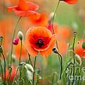 Red Corn Poppy Flowers 05 by Nailia Schwarz